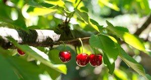 Apfelbaum kirschbaum Juli schneiden Tipps