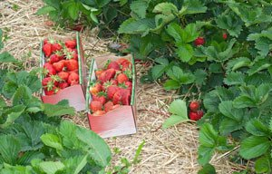 Erdbeeren vermehren Tipps