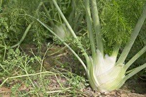 Fenchel Selbst Anbauen Fenchel Pflanzen Tipps Pflege Gemuse