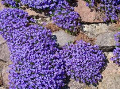 Gartenmauer bepflanzen Blaukissen