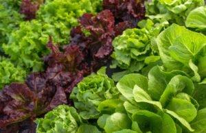 Salat Aussaatzeiten