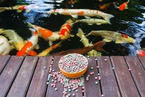 Kois sind beliebte Teichfische