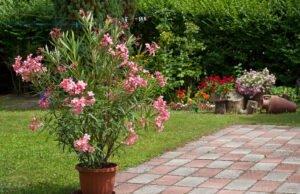 Oleander: Schädlinge