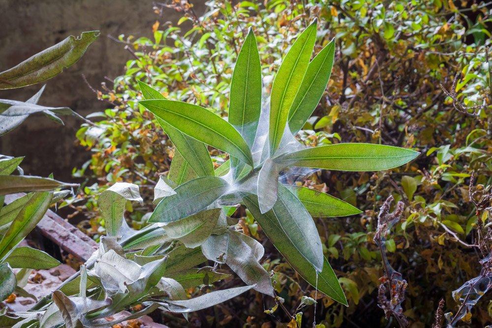 Oleander: Spinnmilden