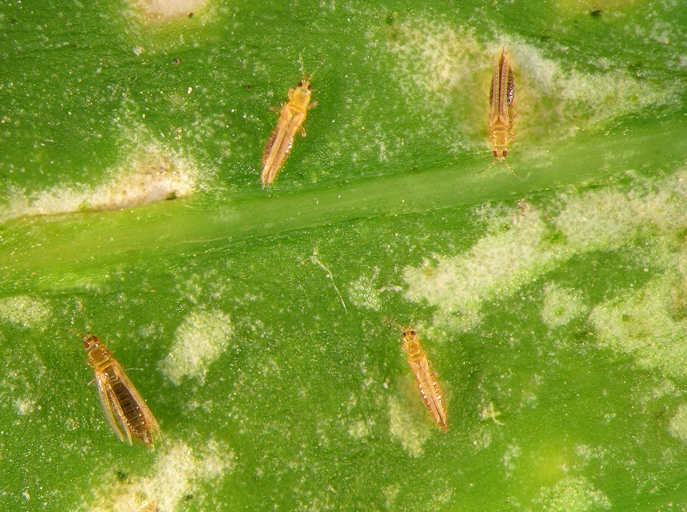 Oleander: Thripse