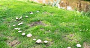 Pilze im Rasen entfernen