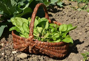 Spinat können Sie zweimal im Jahr ernten