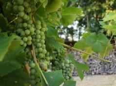 Wein pflegen Sommer Tipps