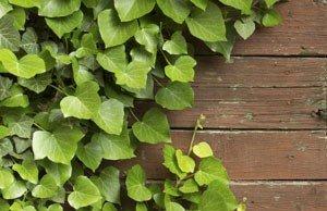 Efeu braun Blätter Hilfe