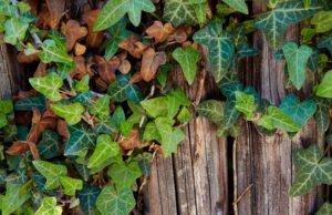 Efeu bekommt braune Blätter