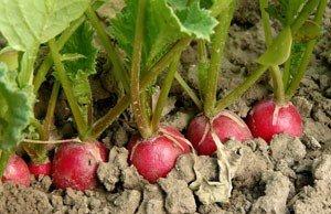 Gemüsepflege Herbst Radieschen