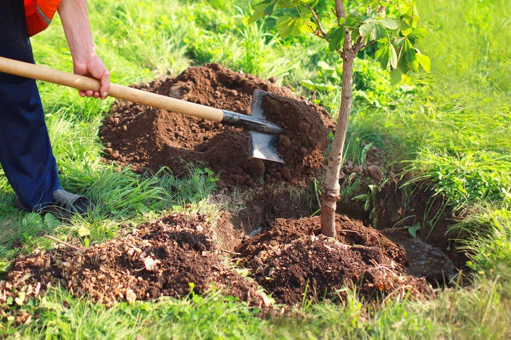 Kastanienbaum pflanzen
