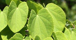Kuchenbaum Duft Pflege