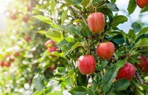 Obstbaum Herbst Ernte Pflege