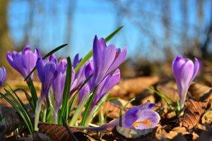 Krokusse die im Herbst blühen: Der Safrankrokus