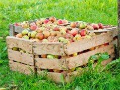 Äpfel einlagern