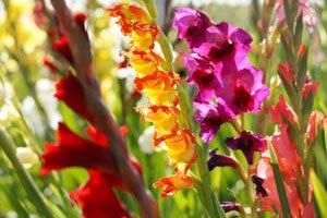 Gladiolen Winter Tipps