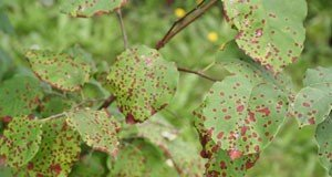 Pflanzenkrankheite deuten Merkmale