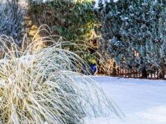 Ziergras im Winter