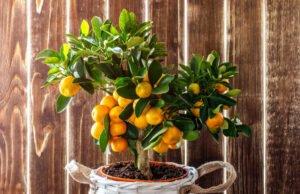 Zitruspflanzen gießen