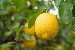 Zitruspflanzen Gießen ? 4 Wichtige Tipps Richtige Pflege Von Zitruspflanzen
