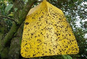 Fangtafeln Gelbtafeln Insekten einsetzen