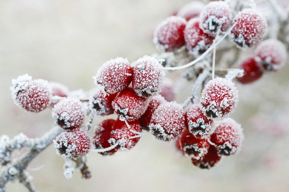 Frostschäden an Pflanzen