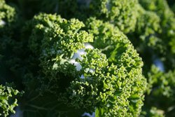 Grünkohl ist weitesgehend wetterresistent