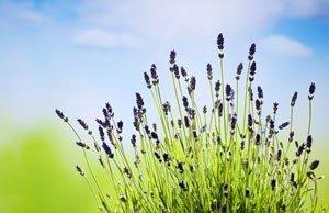 Lavendel vermehren Anleitung