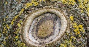 Obstbaum Krebs vorbeugen