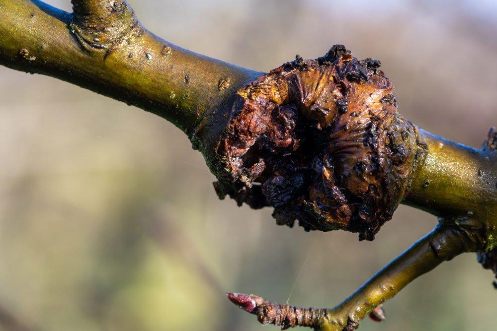 Obstbaumkrebs Apfelbaum