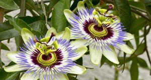 Passionsblume pflegen Wintergarten