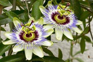 Passionsblumen Pflegen ? Eine Blume Für Den Wintergarten Tipps Pflege Pflanzen Wintergarten