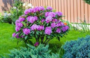 Rhododendron vermehren