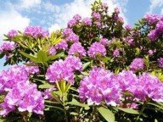 Rhododendron vermehren Anleitung