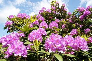 Bevorzugt Rhododendron vermehren – So wird's gemacht FF09
