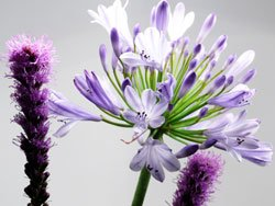 Schmucklilien haben wunderschöne Blüten