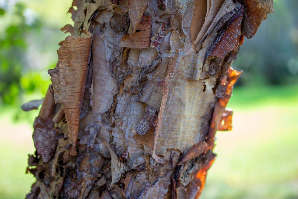 Baumrinde aufgeplatzt