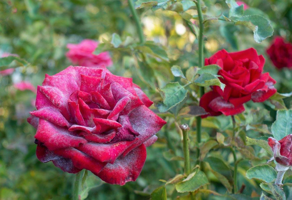 Ecter Mehltau an Rosen