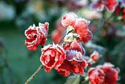 Schneiden Sie Ihre Rosen zurück