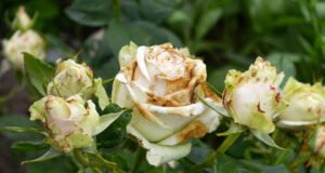 Krankheiten an Rosen