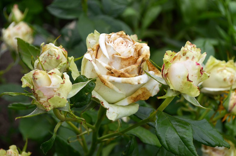 Rollen sich rosenblätter Rosenblätter rollen