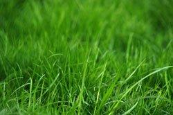Meist sind Bodenschädlinge für die Flecken verantwortlich