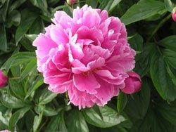 Pfingstrosen haben sehr große Blüten