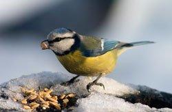 Vögel lieben Sonnenblumenkerne