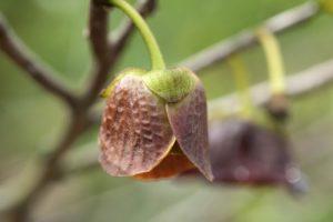 Blütenknospe der Pawpaw (Indianerbanane)