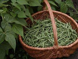 Mögen Sie lieber Wachsbohnen, Stangenbohnen oder Buschbohen?