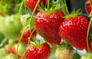 Erdbeeren Pflege