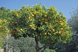 Dünnen Sie die Früchte aus