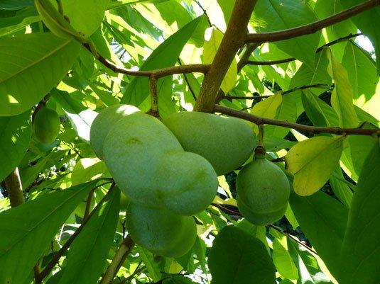 Indianerbaum Früchte